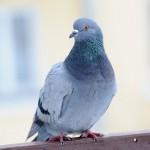 ハトのフン害からベランダを守ろう!鳩対策の方法とお掃除術