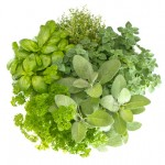 夏に向けてお勧めのお手軽家庭菜園!ベランダ&キッチン菜園