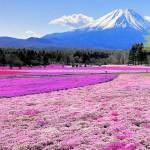 桜の後は芝桜を見に行こう!その特徴とおすすめスポット!