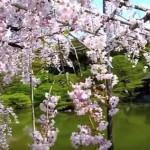 古都京都で桜を満喫しよう!見頃とおすすめスポット