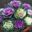 花キャベツ,葉牡丹